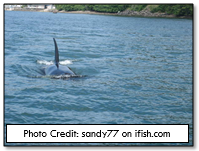 Orcas can sometimes be seen in Nehalem bay, attracted by the dense salmon activity